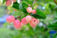 Karanda of Carunda, fruit of kruiden op boom met regendaling Stock Afbeeldingen