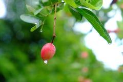 Karanda, Carunda, owoc lub ziele na drzewie z deszczem, opuszczamy Obrazy Stock