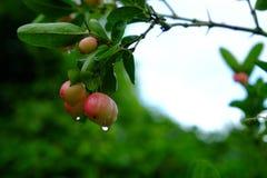Karanda, Carunda, owoc lub ziele na drzewie z deszczem, opuszczamy Zdjęcie Royalty Free