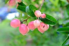 Karanda, Carunda, owoc lub ziele na drzewie z deszczem, opuszczamy Zdjęcie Stock