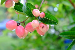 Karanda eller Carunda, frukt eller örter med regn tappar Royaltyfria Bilder