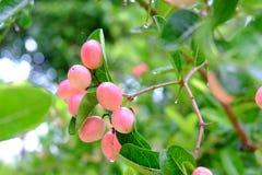 Karanda eller Carunda, frukt eller örter på träd med regn tappar Arkivbild