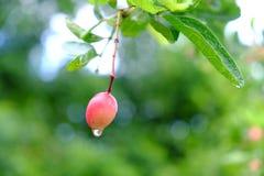 Karanda eller Carunda, frukt eller örter på träd med regn tappar Royaltyfri Foto