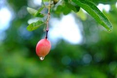 Karanda eller Carunda, frukt eller örter på träd med regn tappar Arkivfoto