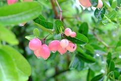 Karanda eller Carunda, frukt eller örter på träd med regn tappar Royaltyfri Bild