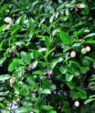 Karanda fruit in Thailand Royalty Free Stock Images