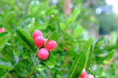 Karanda o Carunda, frutta o erbe Fotografia Stock