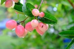Karanda o Carunda, frutta o erbe con goccia di pioggia Immagini Stock Libere da Diritti