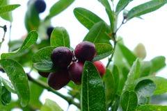 Karanda o Carunda, la fruta o las hierbas con lluvia caen Fotografía de archivo