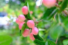 Karanda o Carunda, la fruta o las hierbas con lluvia caen Imágenes de archivo libres de regalías