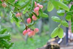 Karanda o Carunda, la fruta o las hierbas en árbol con lluvia caen Imágenes de archivo libres de regalías