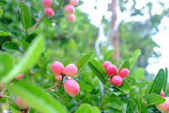 Karanda o Carunda, la fruta o las hierbas en árbol con lluvia caen Fotografía de archivo