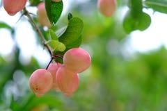 Karanda o Carunda, la fruta o las hierbas en árbol con lluvia caen Imagen de archivo libre de regalías