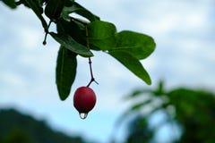 Karanda o Carunda, la fruta o las hierbas en árbol con lluvia caen Fotos de archivo