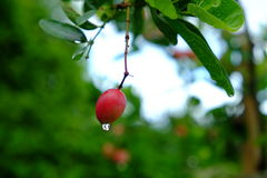Karanda o Carunda, la fruta o las hierbas en árbol con lluvia caen Foto de archivo libre de regalías