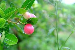 Karanda o Carunda, la fruta o las hierbas en árbol con lluvia caen Imagen de archivo