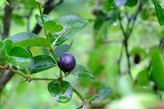 Karanda oder Carunda, Frucht oder Kräuter auf Baum mit Regen fallen Stockfotografie