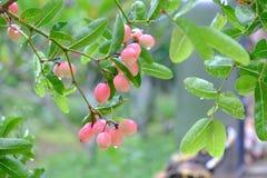 Karanda oder Carunda, Frucht oder Kräuter auf Baum mit Regen fallen Lizenzfreies Stockfoto