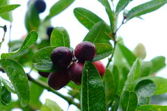 Karanda ou Carunda, fruit ou herbes avec la pluie se laissent tomber Photographie stock