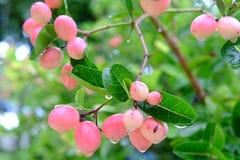 Karanda ou Carunda, fruit ou herbes sur l'arbre avec la pluie se laissent tomber Images libres de droits
