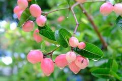 Karanda ou Carunda, fruit ou herbes sur l'arbre avec la pluie se laissent tomber Photos libres de droits