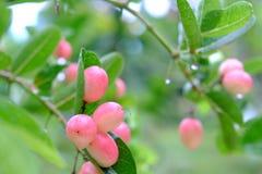 Karanda ou Carunda, fruit ou herbes sur l'arbre avec la pluie se laissent tomber Photo stock