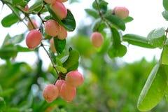 Karanda ou Carunda, fruit ou herbes sur l'arbre avec la pluie se laissent tomber Photos stock