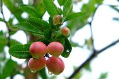 Karanda ou Carunda, fruit ou herbes sur l'arbre avec la pluie se laissent tomber Photo libre de droits