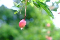 Karanda ou Carunda, fruit ou herbes sur l'arbre avec la pluie se laissent tomber Photographie stock libre de droits