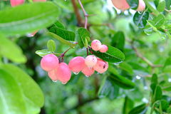 Karanda ou Carunda, fruit ou herbes sur l'arbre avec la pluie se laissent tomber Image libre de droits