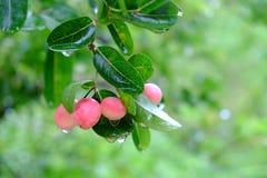 Karanda ou Carunda, fruit ou herbes sur l'arbre avec la pluie se laissent tomber Image stock