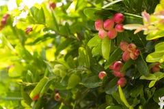 Karanda träd eller Carunda eller frukt för tagg för christ ` s för hälsa och ört Zoom in Royaltyfria Bilder