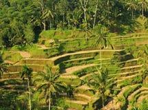 Karangasem Rice Tarasuje 07 Fotografia Stock
