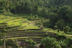Karangasem ris terrasserar 02 Royaltyfri Fotografi