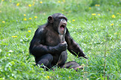 Karaoke Chimp Royalty Free Stock Images