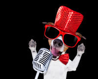 Karaoke singing dog. Jack russell terrier dog isolated on black background singing with microphone a karaoke song in a night club Stock Images
