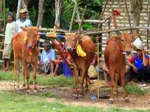 Karapan Sapi photo stock