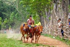 Karapan Sapi photographie stock libre de droits