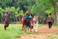 Karapan Sapi photos libres de droits