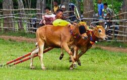 Karapan Sapi image libre de droits