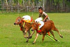 Karapan Sapi images stock