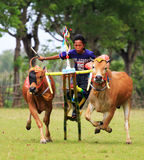 KARAPAN SAPI Royalty Free Stock Photography