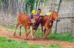 KARAPAN SAPI Stock Images
