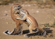 Karate Kid Squirrel Royalty Free Stock Photo