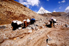 KARAWANA YAKS, KHUMBU NEPAL Zdjęcie Stock