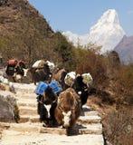 Karawana yaks z towarami z górą Ama Dablam Zdjęcia Royalty Free