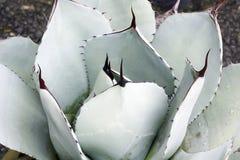 Karczoch agawy roślina Obrazy Royalty Free