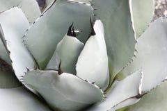 Karczoch agawy roślina Zdjęcie Stock