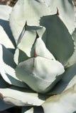 Karczoch agawy roślina Obrazy Stock