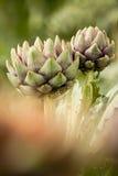 Karczoch (Cynara cardunculus) Fotografia Stock